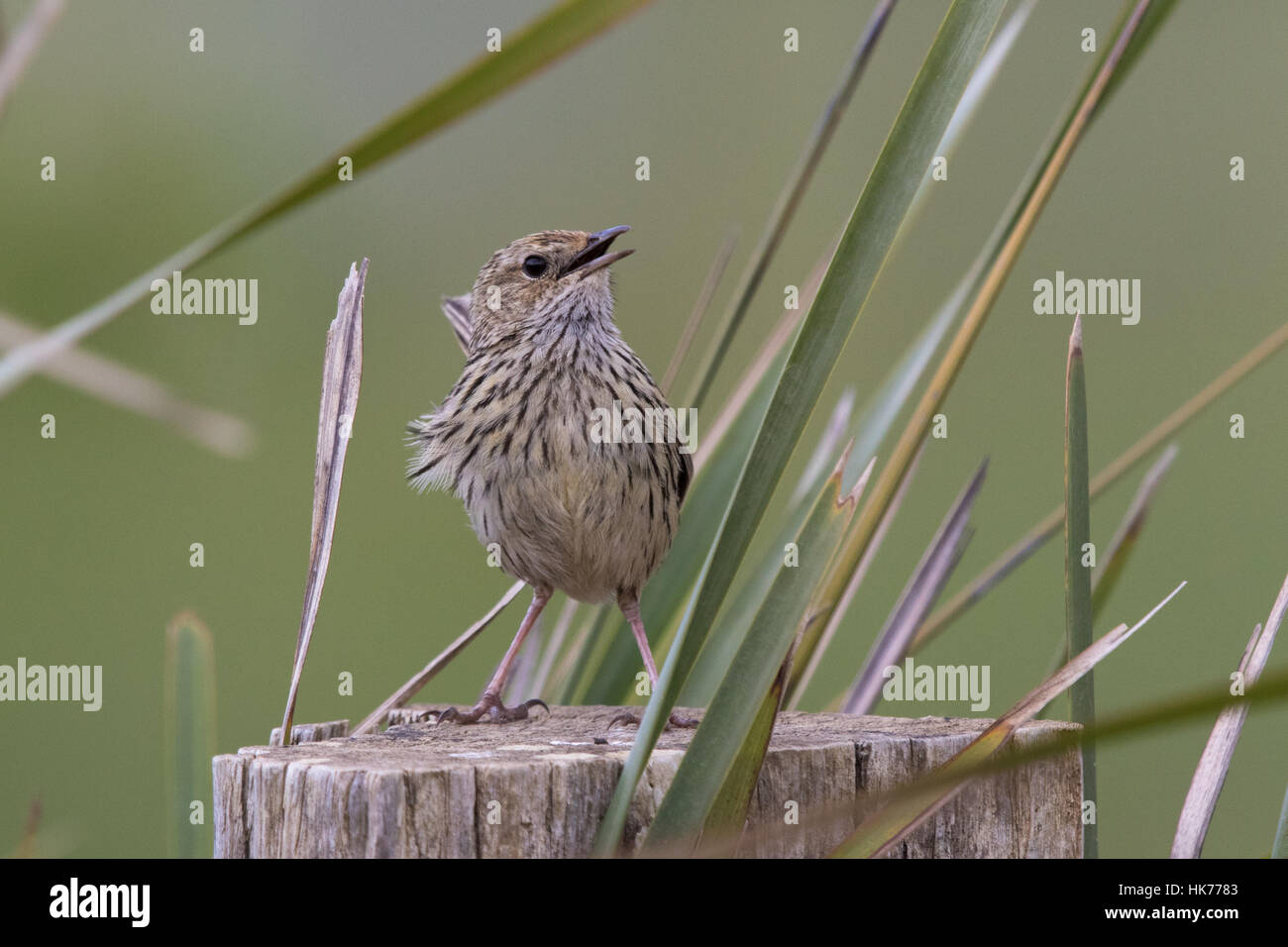 Striated Fieldwren (Calamanthus fuliginosus) singing from the top of a fencepost on a windy day - Stock Image