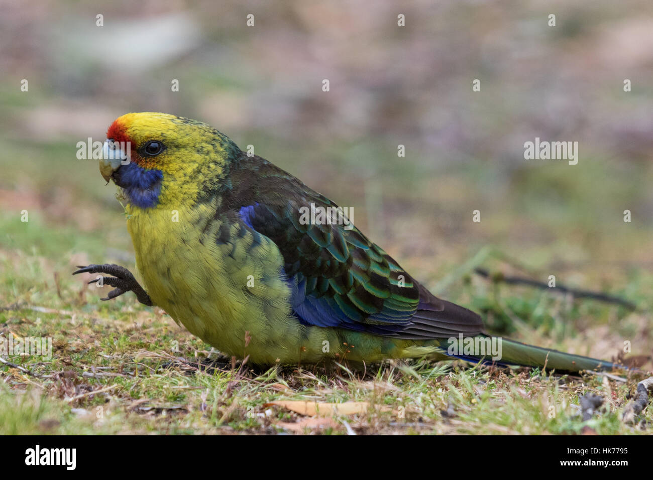 Green Rosella (Platycercus caledonicus) sitting on the ground eating grass seeds - Stock Image