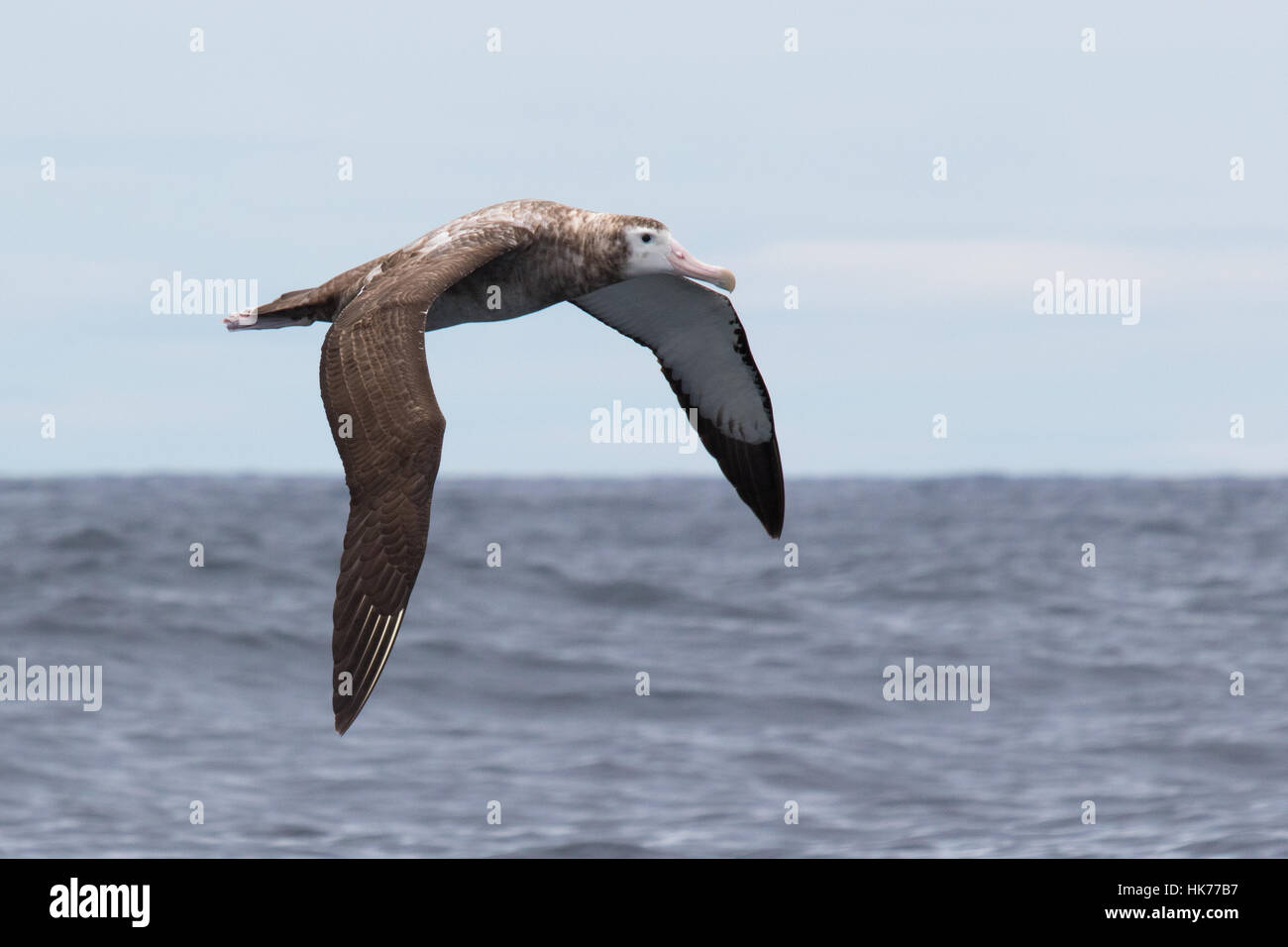 immature Wandering Albatross (Diomedea exulans) flying over the Pacific Ocean - Stock Image