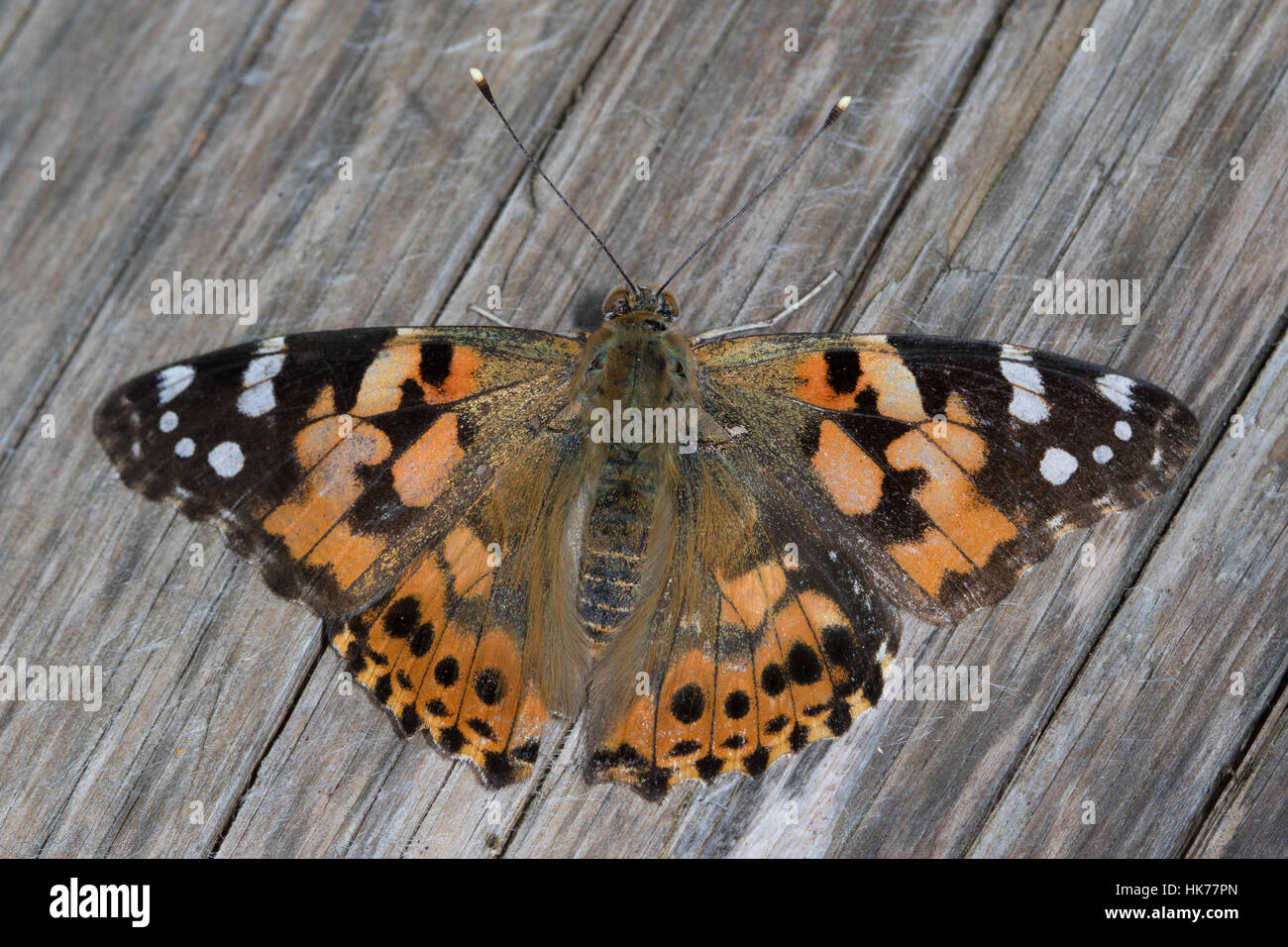Painted Lady (Vanessa cardui) basking on a wooden picnic table - Stock Image