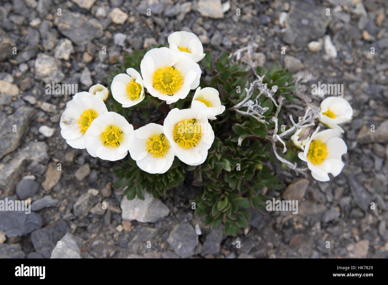 Glacier Crowfoot (Ranunculus glacialis) flowers - Stock Image