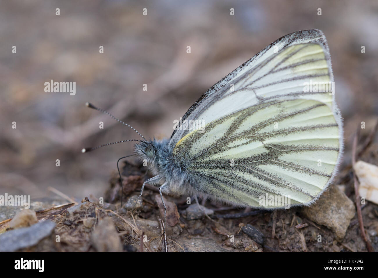 Dark-veined White (Pieris bryoniae) butterfly feeding on minerals from damp soil Stock Photo