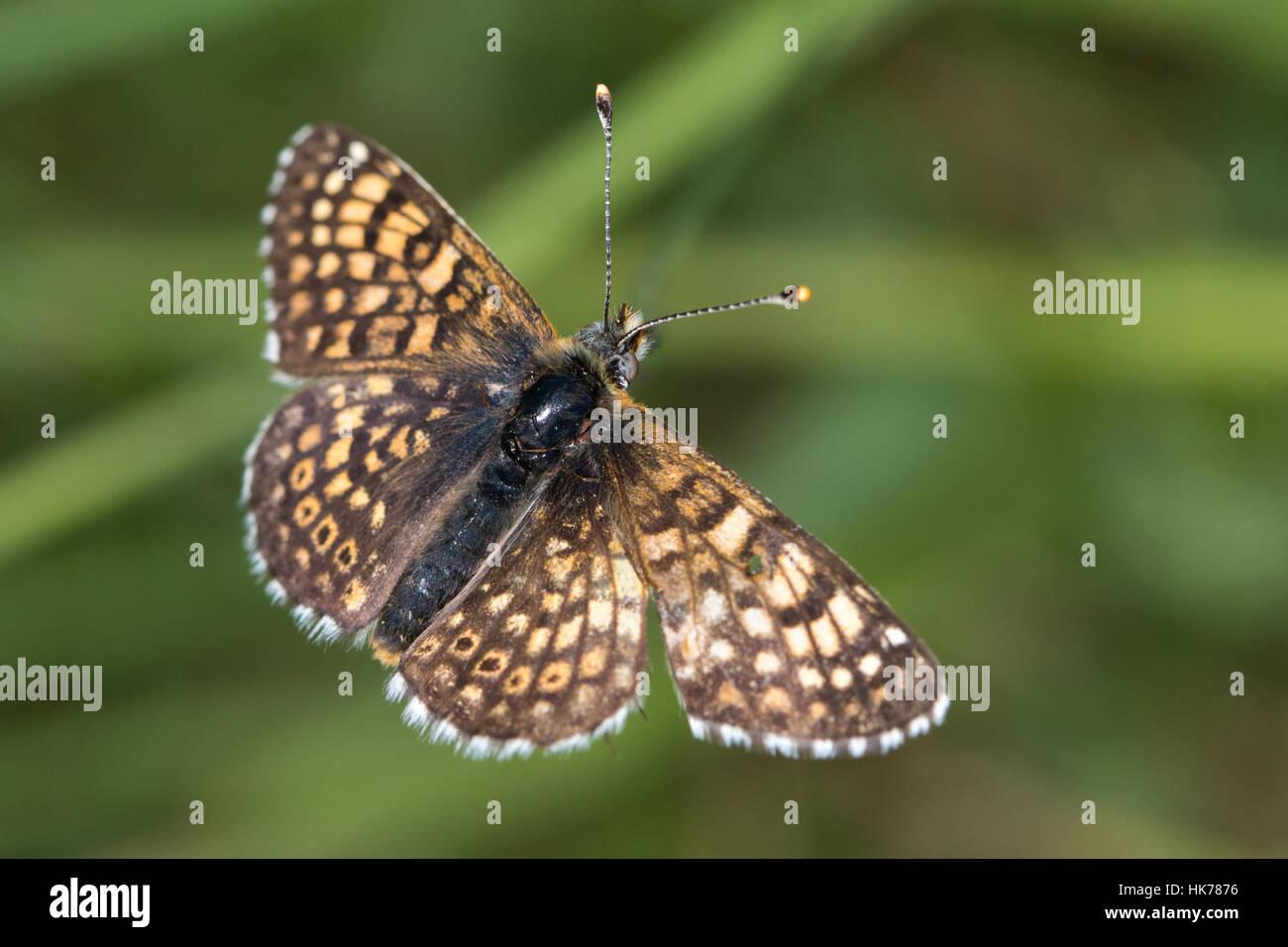 Glanville Fritillary (Melitaea cinxia) butterfly - Stock Image