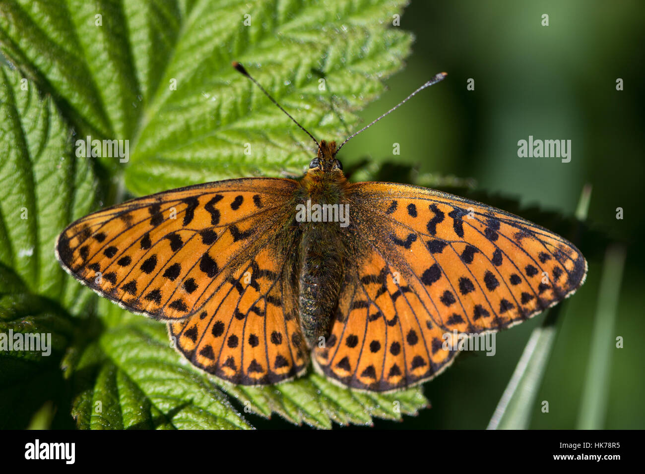 Pearl-bordered Fritillary (Clossiana euphrosyne) butterfly basking in the sun - Stock Image