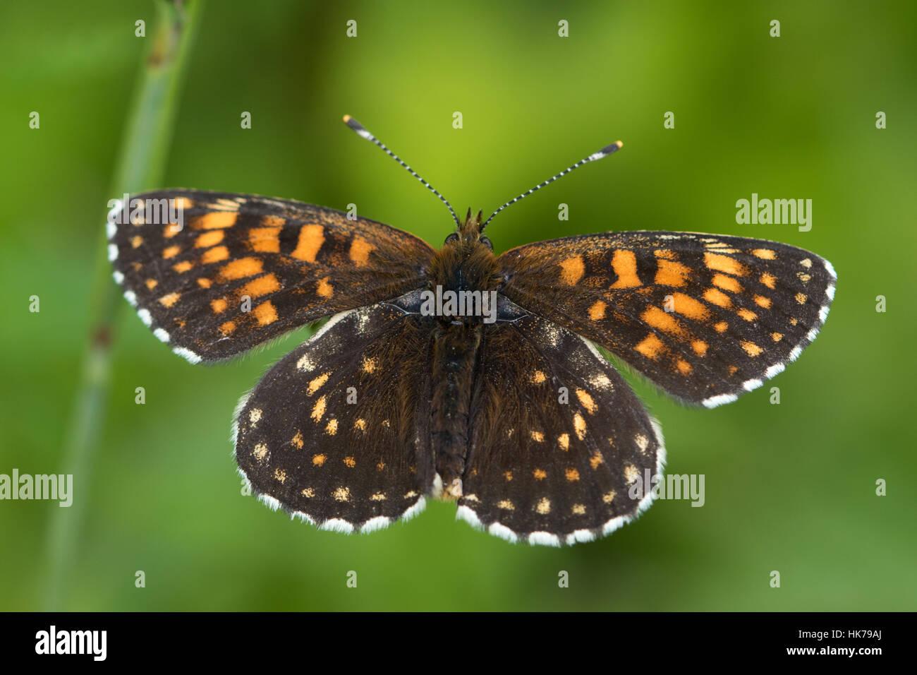 False Heath Fritillary (Melitaea diamina) butterfly basking in the sun - Stock Image