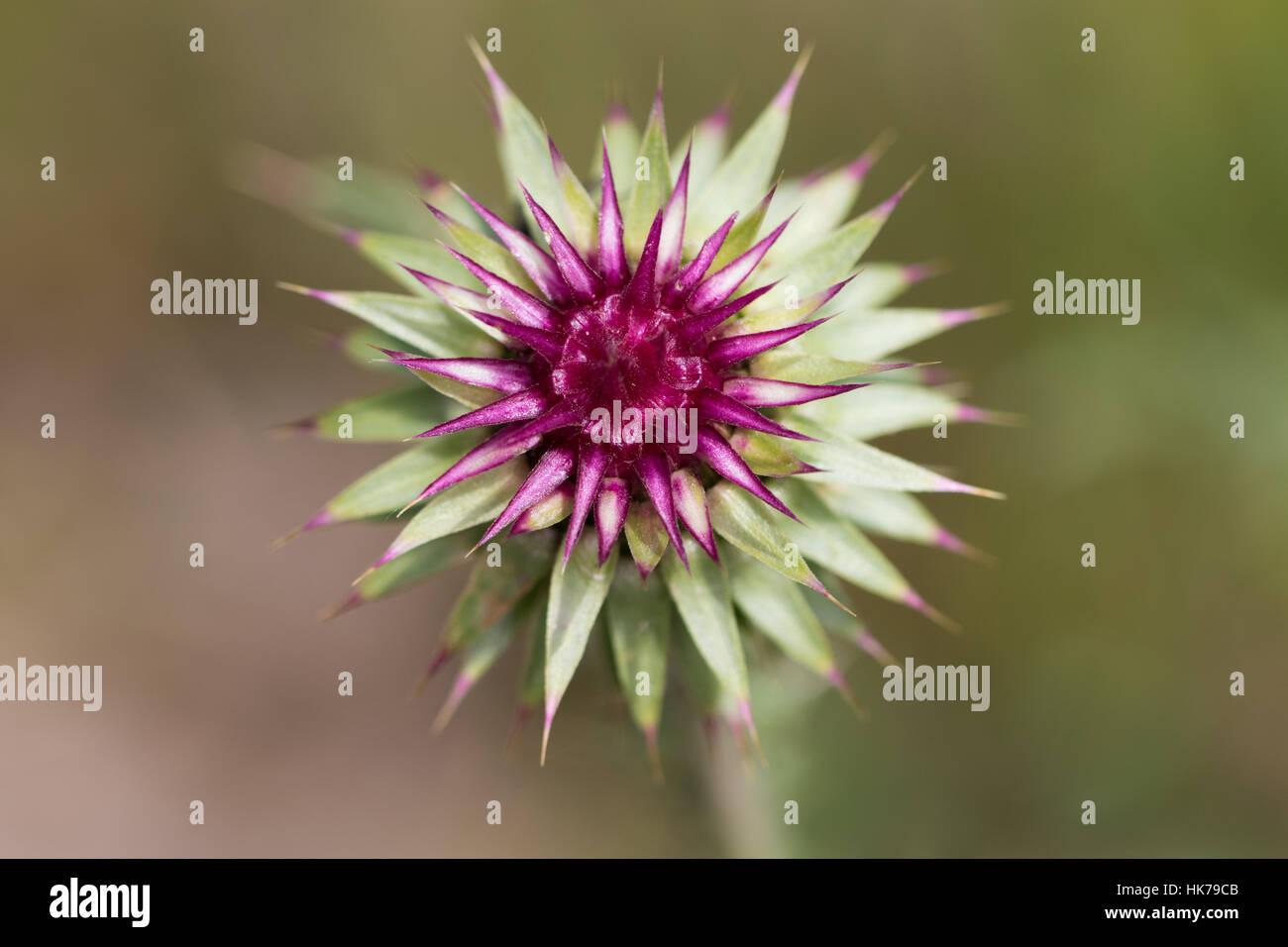 unopened Musk Thistle (Carduus nutans) flower - Stock Image
