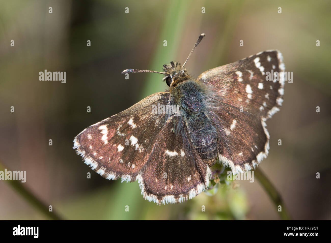 Red Underwing Skipper (Spialia sertorius) butterfly basking in the sun - Stock Image