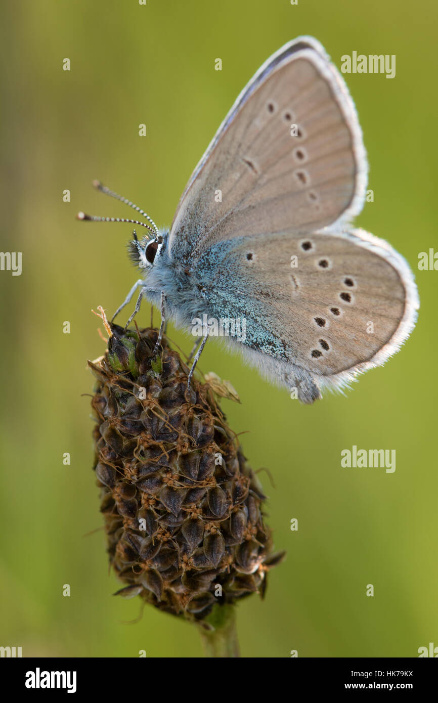 Mazarine Blue (Cyaniris semiargus) butterfly resting on a seedhead - Stock Image
