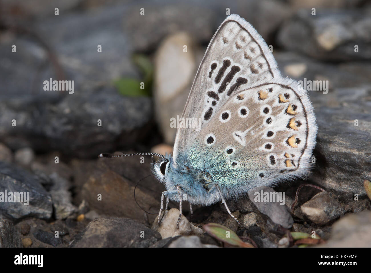 aberrant Common Blue (Polyommatus icarus) butterfly feeding on minerals from damp soil - Stock Image