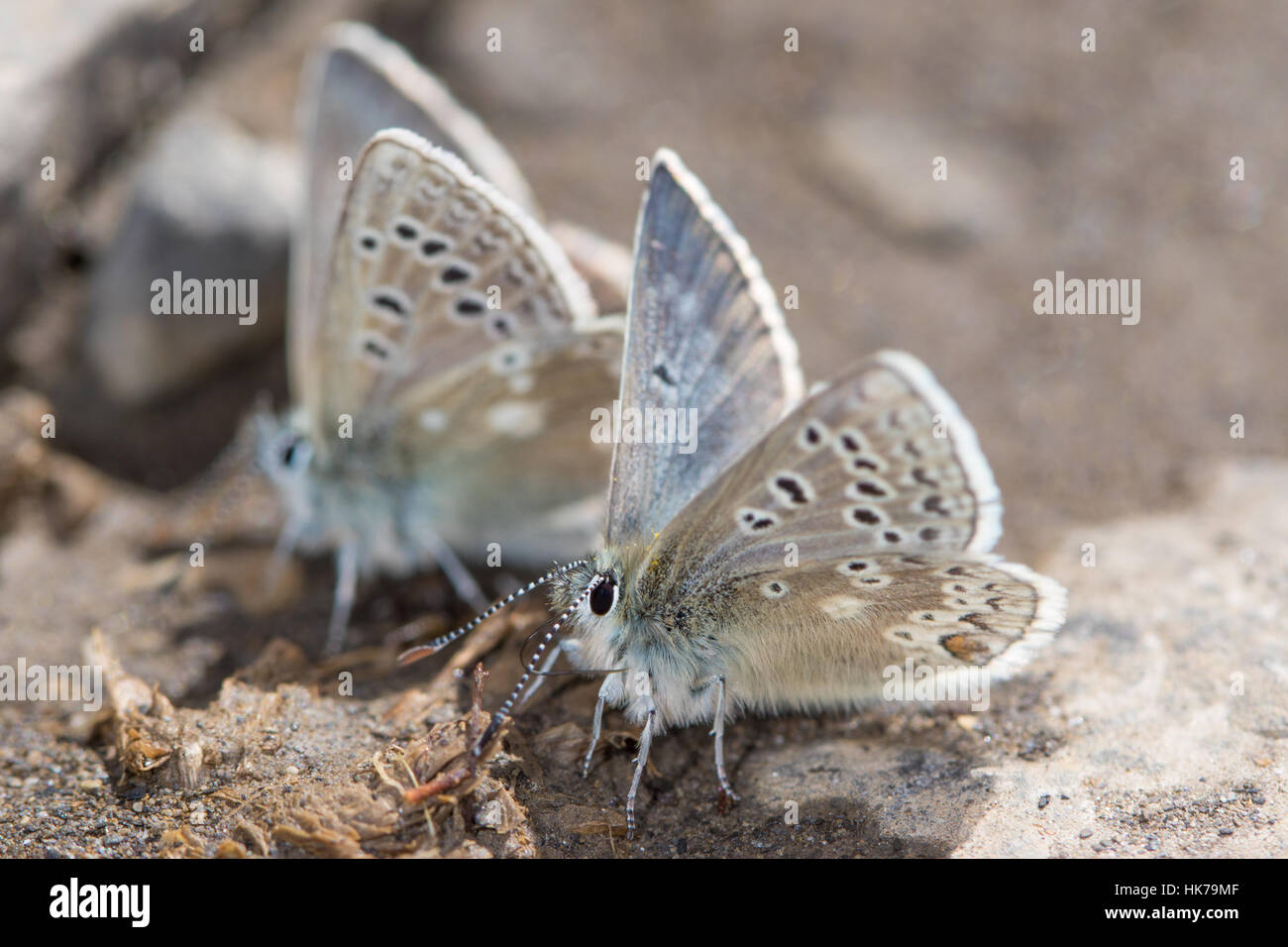pair of Glandon Blue (Plebejus glandon) butterflies feeding on minerals from damp soil - Stock Image