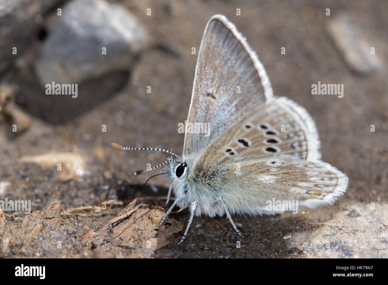 Glandon Blue (Plebejus glandon) butterfly feeding on minerals from damp soil - Stock Image