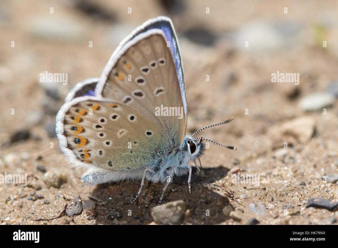 Idas Blue (Plebejus idas) butterfly feeding on minerals from damp soil - Stock Image