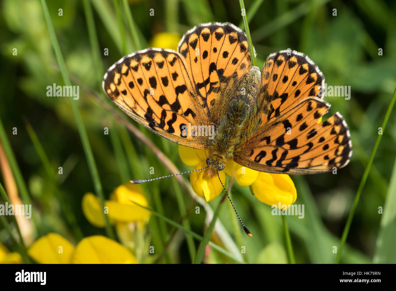 Pearl-bordered Fritillary (Clossiana euphrosyne) feeding on a trefoil (Lotus sp.) flower - Stock Image