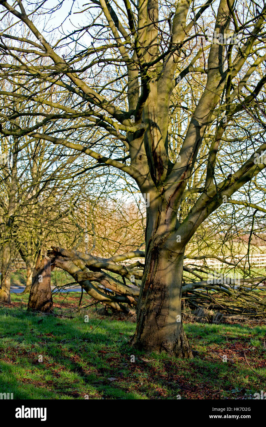 Grove of Horse Chestnut (Aesculus hippocastanum) showing advanced stages of Bleeding Canker, Staffordshire, United - Stock Image