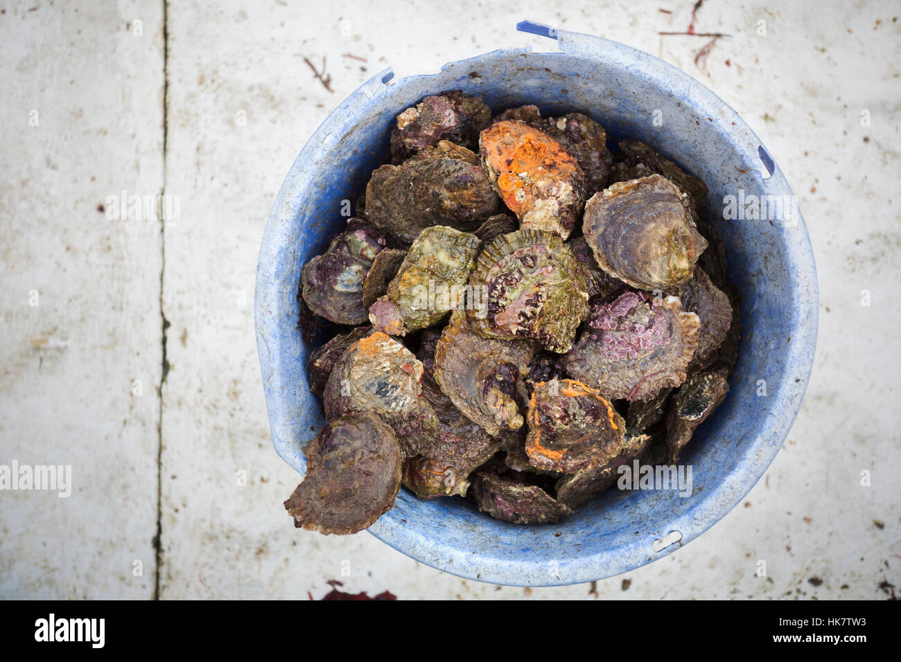 Traditional Sustainable Oyster Fishing, River Fal. A bucket full of shells. - Stock Image