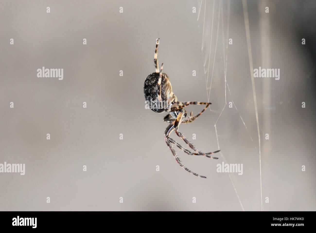 Wildlife: Furrow Spider or furrow orb spider or foliate spider. (Larinioides sclopetarius). Found under a road bridge - Stock Image