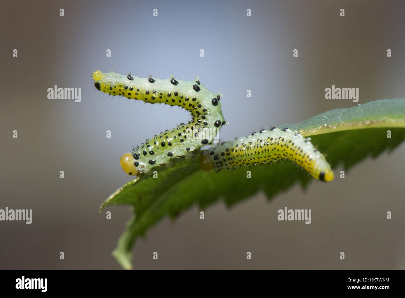 Rose sawfly, Arge pagana, larvae in their defensive position on a partly eaten rose leaf, September - Stock Image