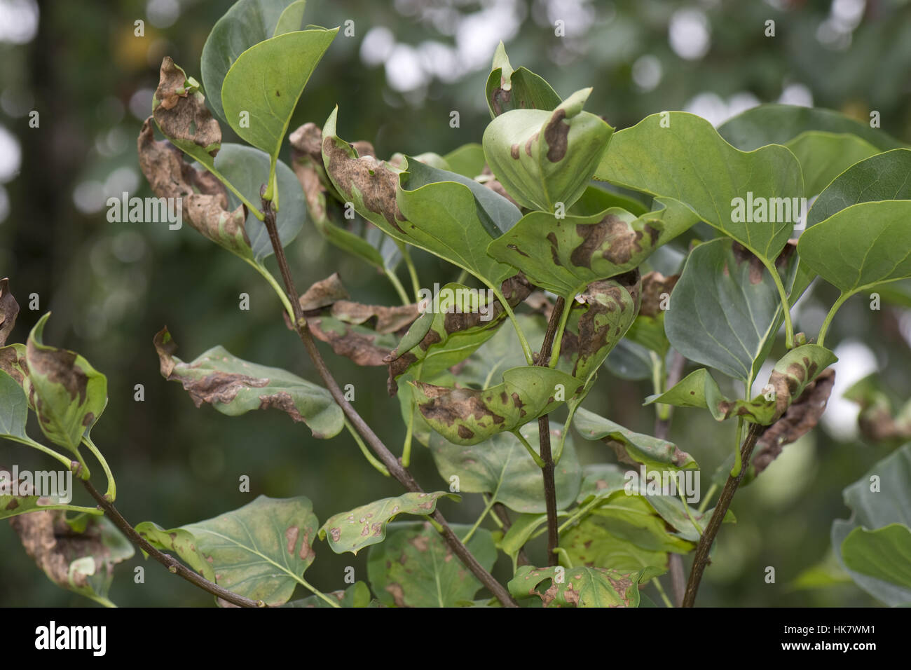 Symptoms of magnesium deficiency on late summer foliage of a lilac tree, Berkshire, June - Stock Image