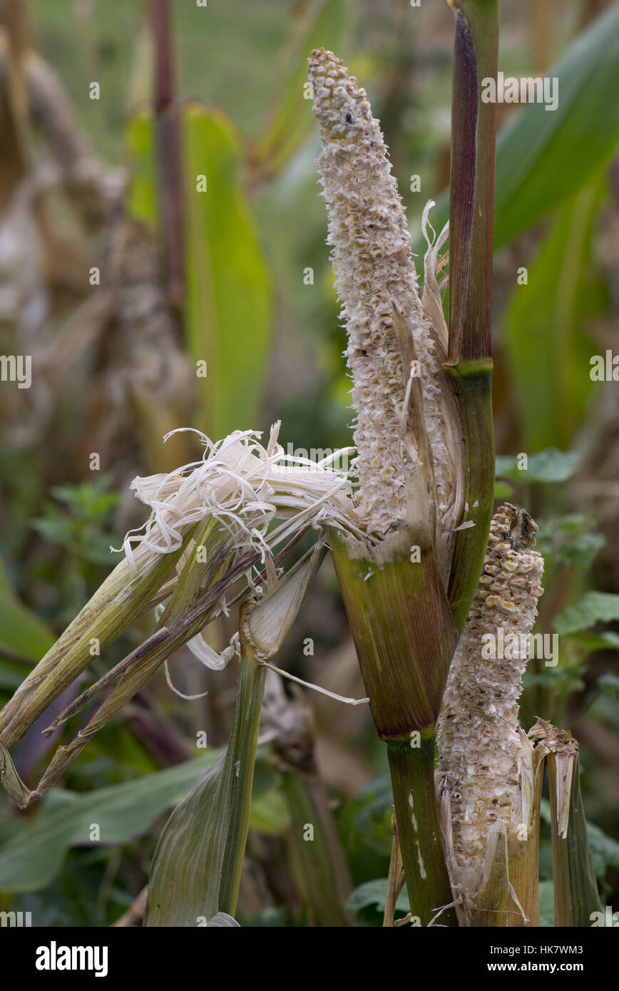 Brown rat damage to sweetcorn cobs on the plant shortly after ripening in a vegetable garden, Berkshire, September - Stock Image