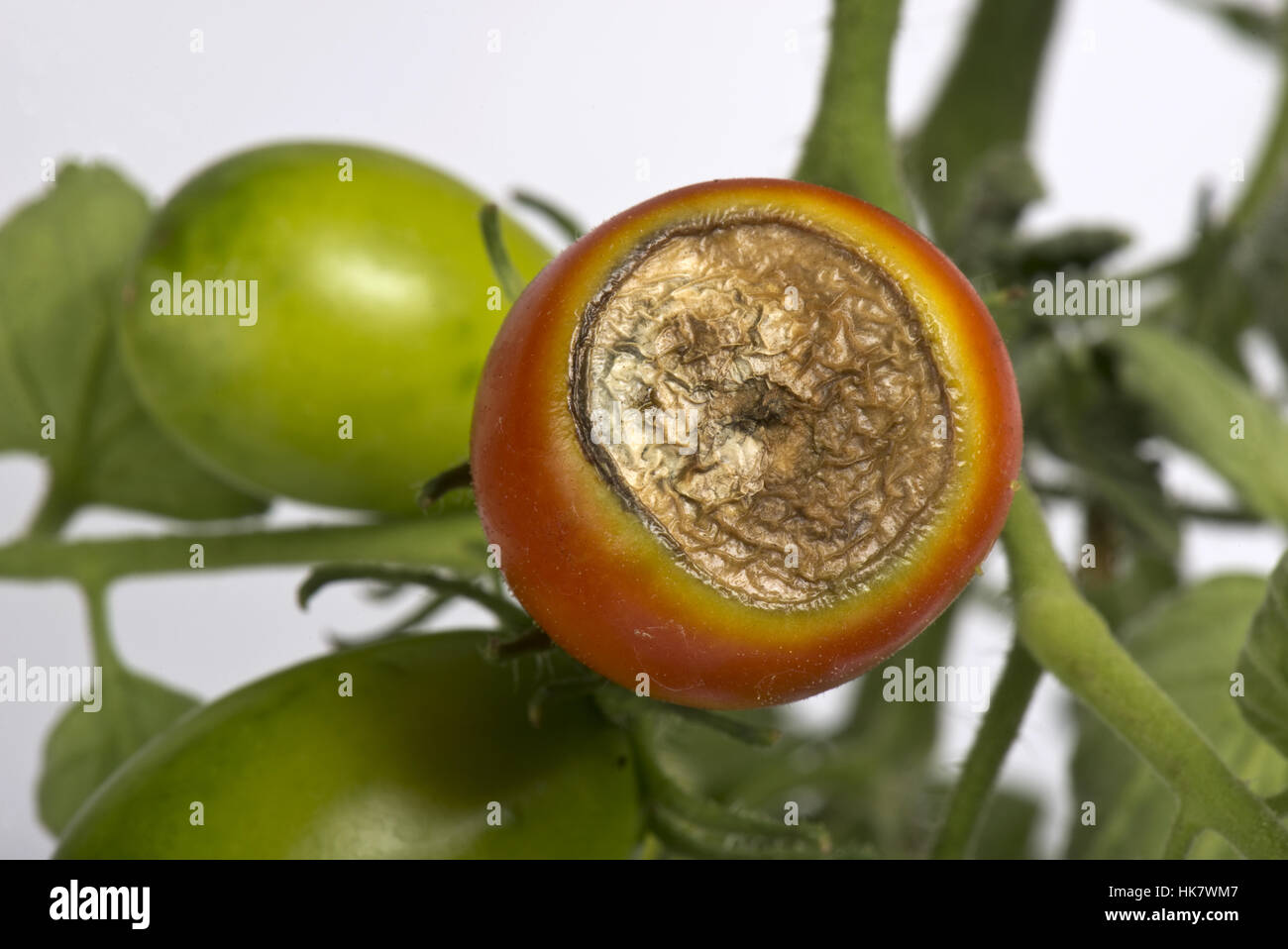 Blossom end rot, calcium deficiency symptoms on a glasshouse grown tomato fruit - Stock Image