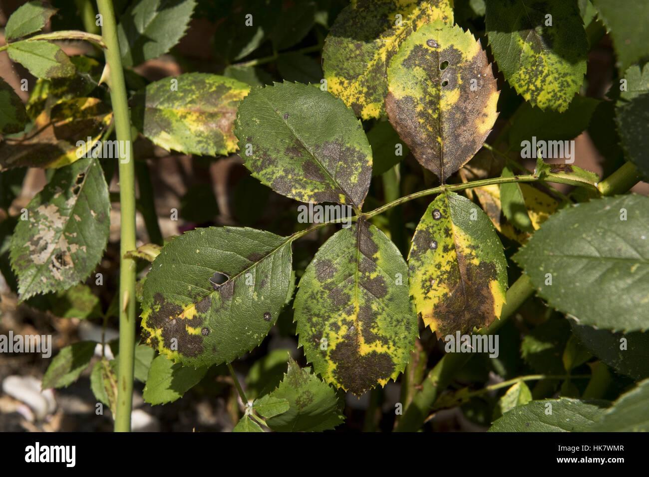 Black spot disease, Diplocarpon rosae, symptoms on a rose leaf, Berkshire, August - Stock Image