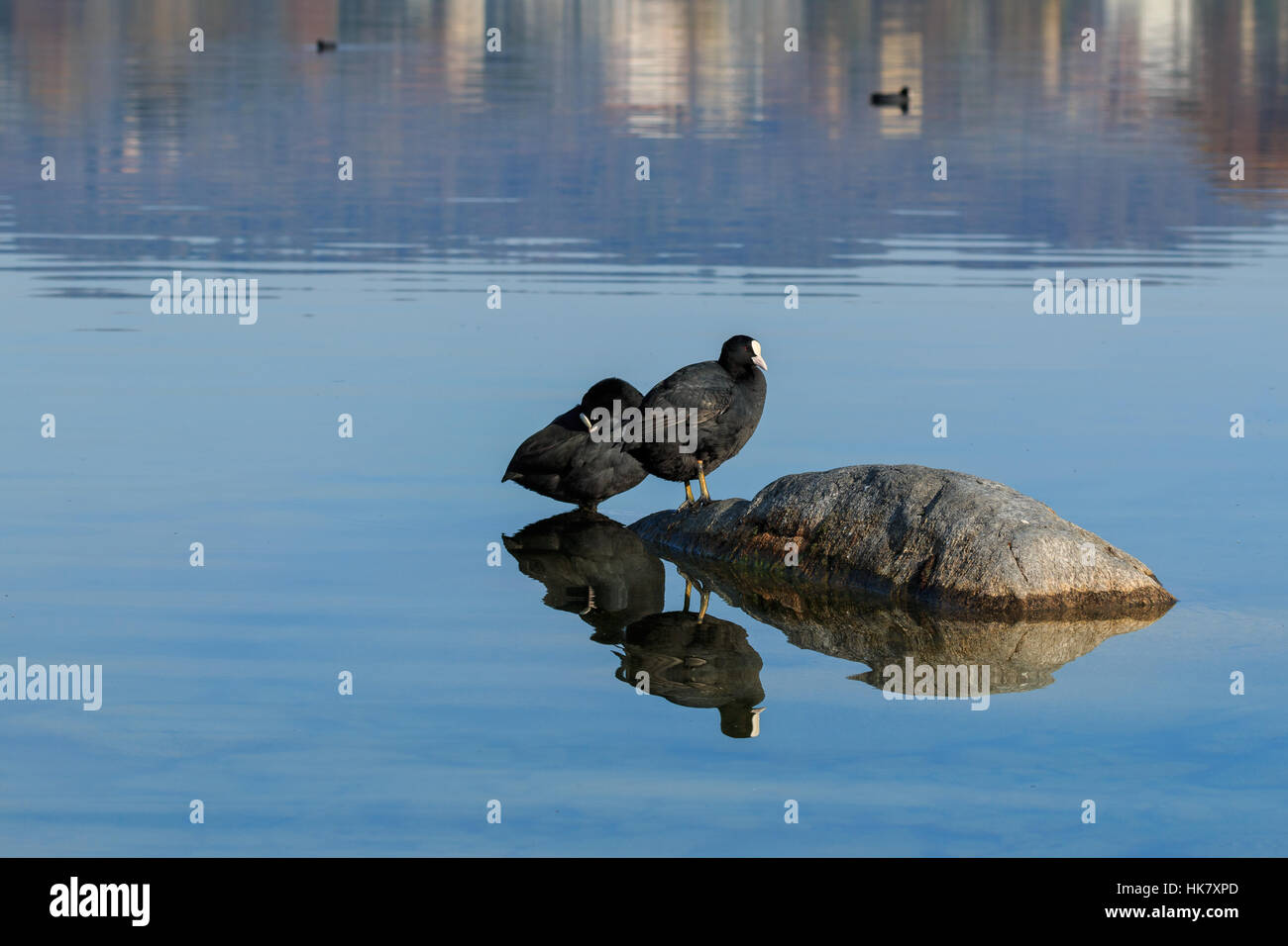 Wide shot eurasian coots on shallow water of lake Italy, Europe - Stock Image