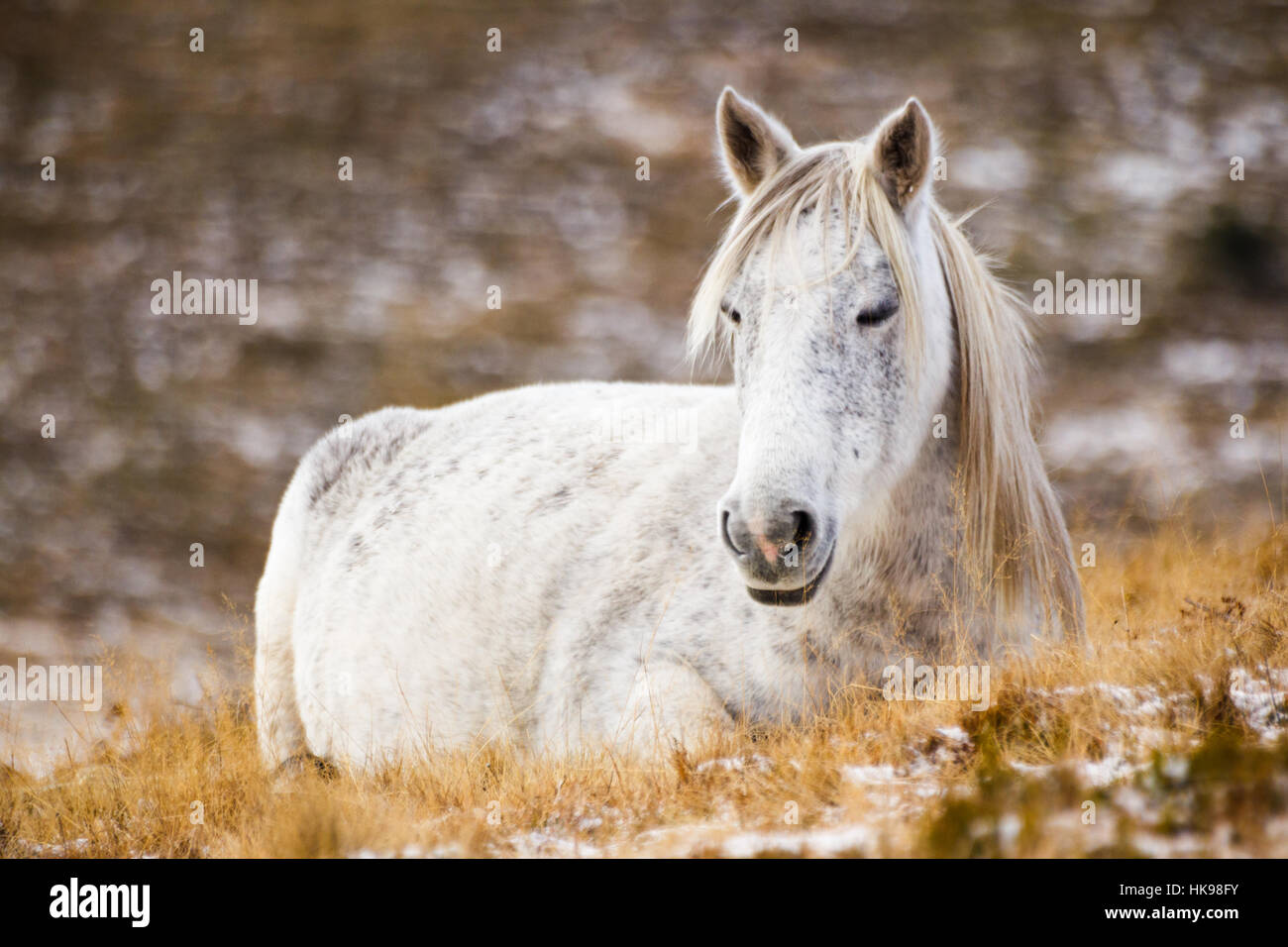 Wild white mustang horse, resting in a snowy field - Stock Image