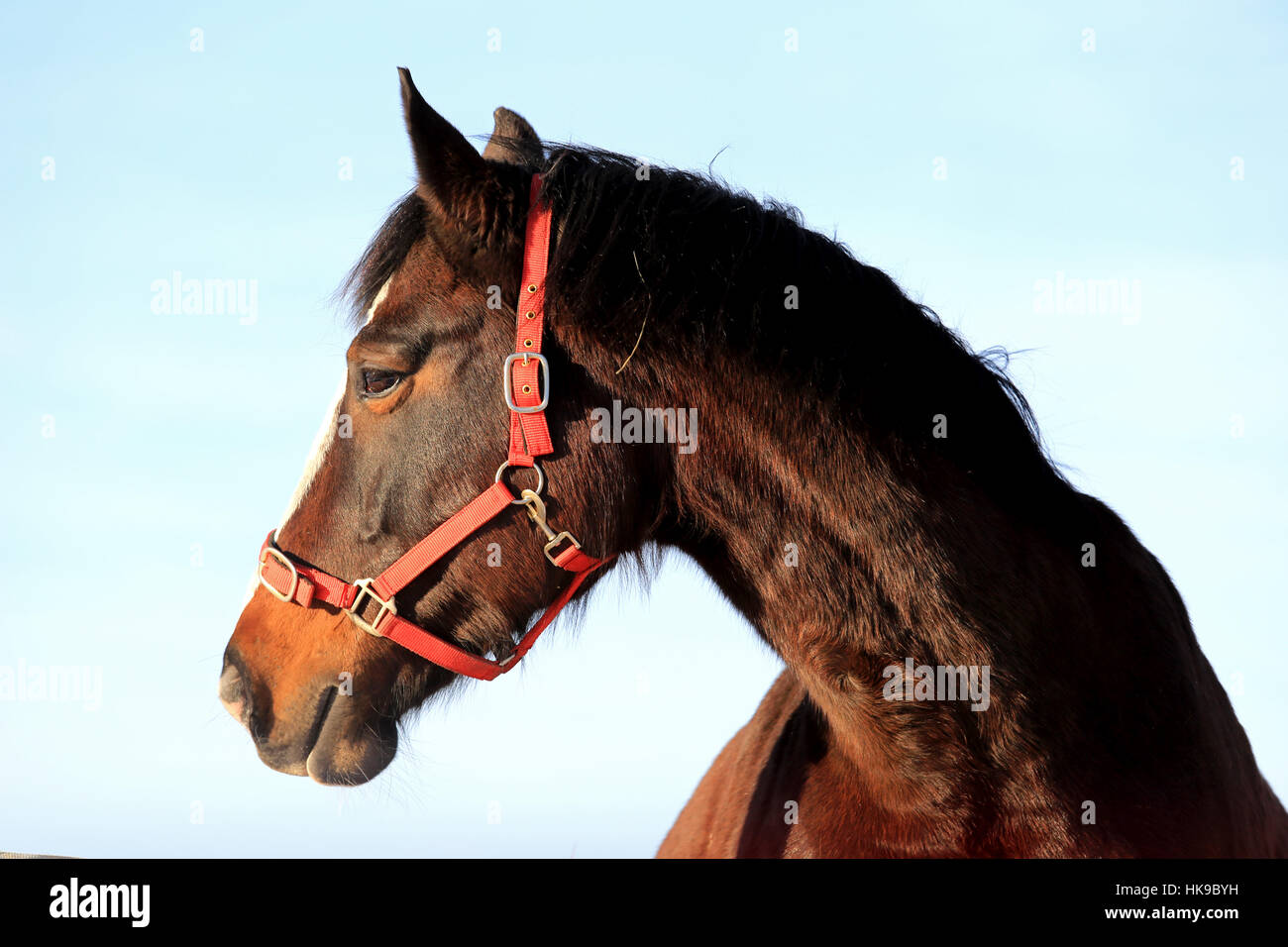 Close up portrait of beautiful bay thoroughbred horse head against blue sky. - Stock Image