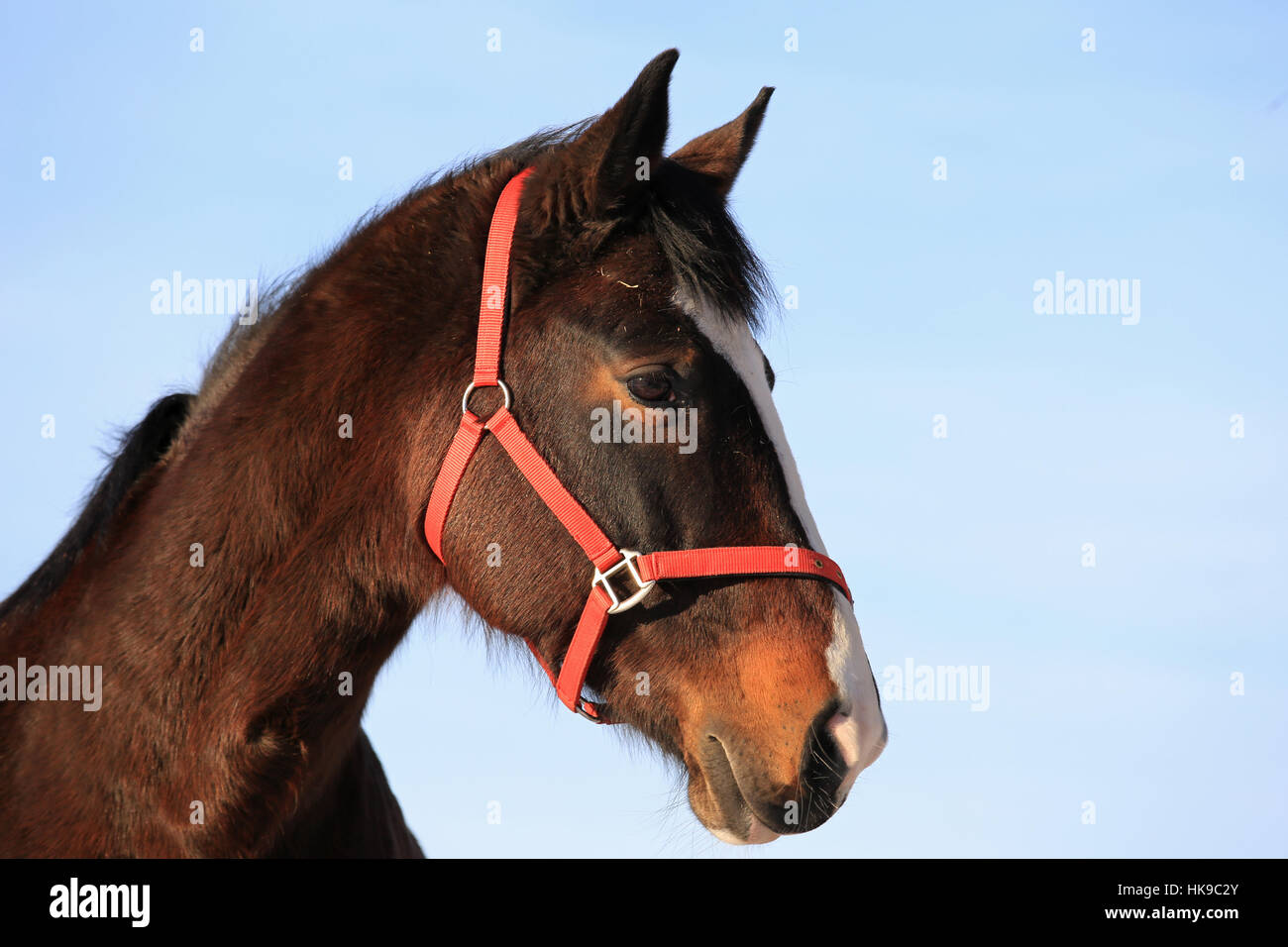 Close up portrait of beautiful bay thoroughbred horse against blue sky. - Stock Image