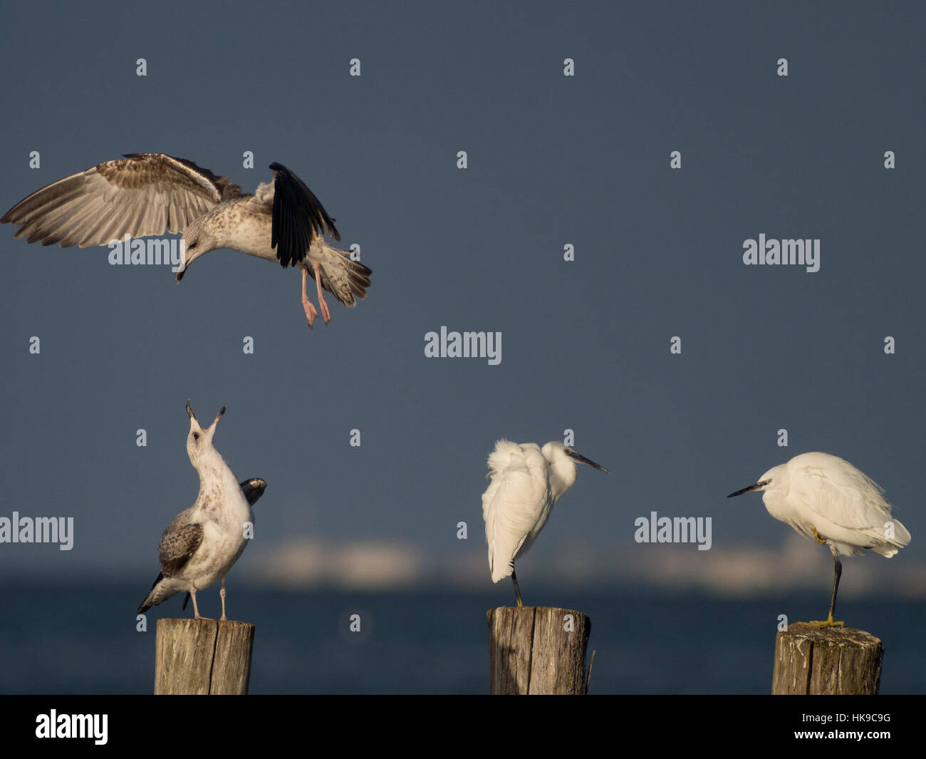 Rivalry for perched on one posts. - Stock Image