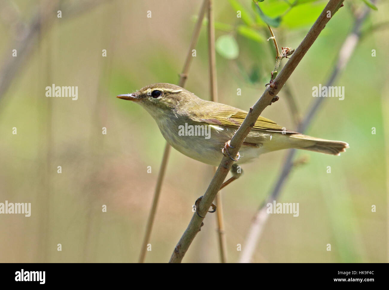 Kamchatka Leaf-Warbler (Phylloscopus examinandus) adult perched on branch  Hebei, China       May 2016 Stock Photo