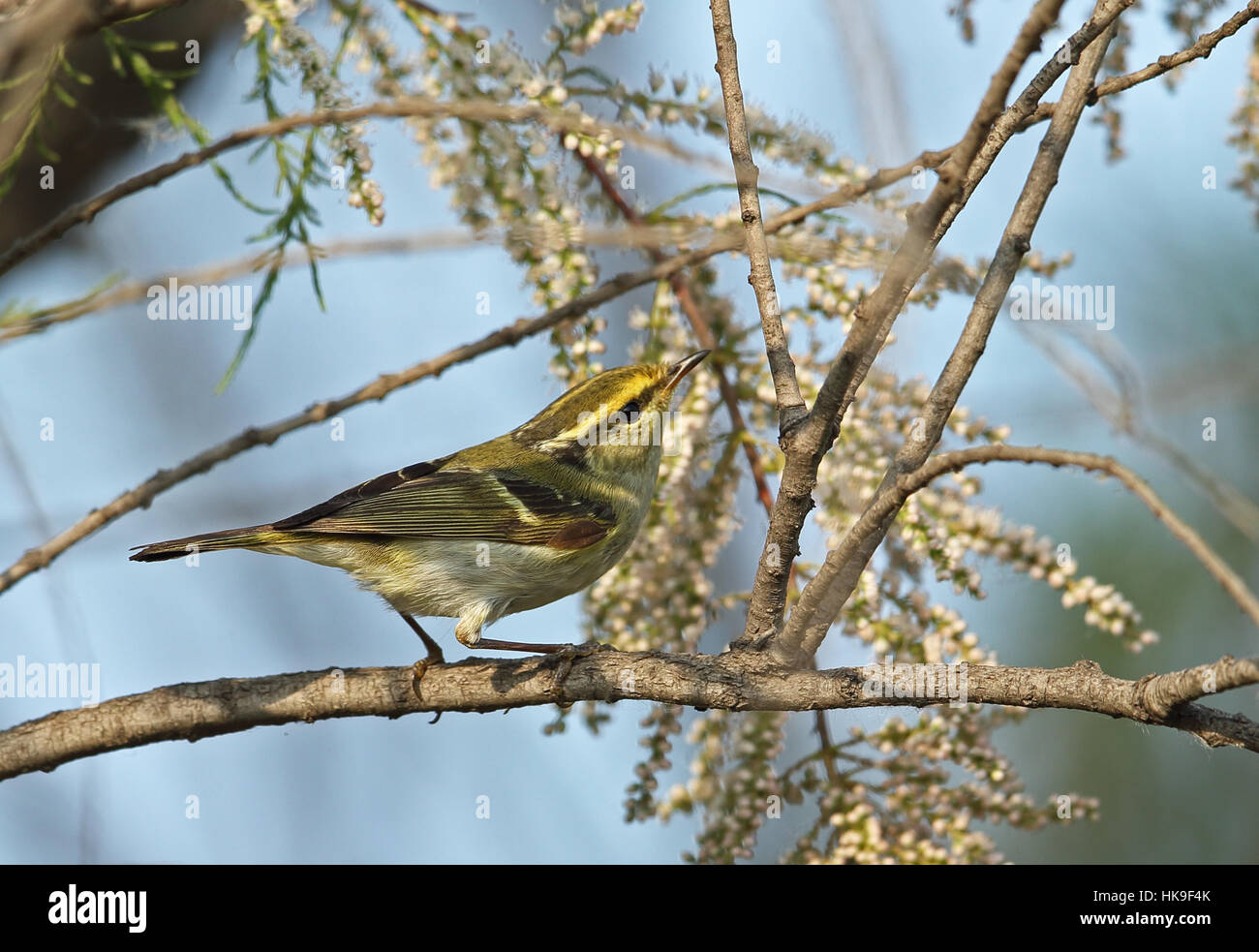 Pallas's Warbler (Phylloscopus proregulus) adult pearched on branch   Hebei, China       May 2016 Stock Photo
