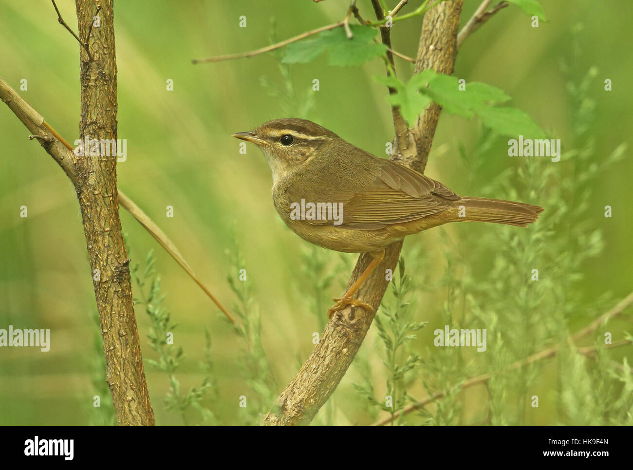Radde's Warbler (Phylloscopus schwarzi) adult pearched on branch   Hebei, China       May 2016 Stock Photo