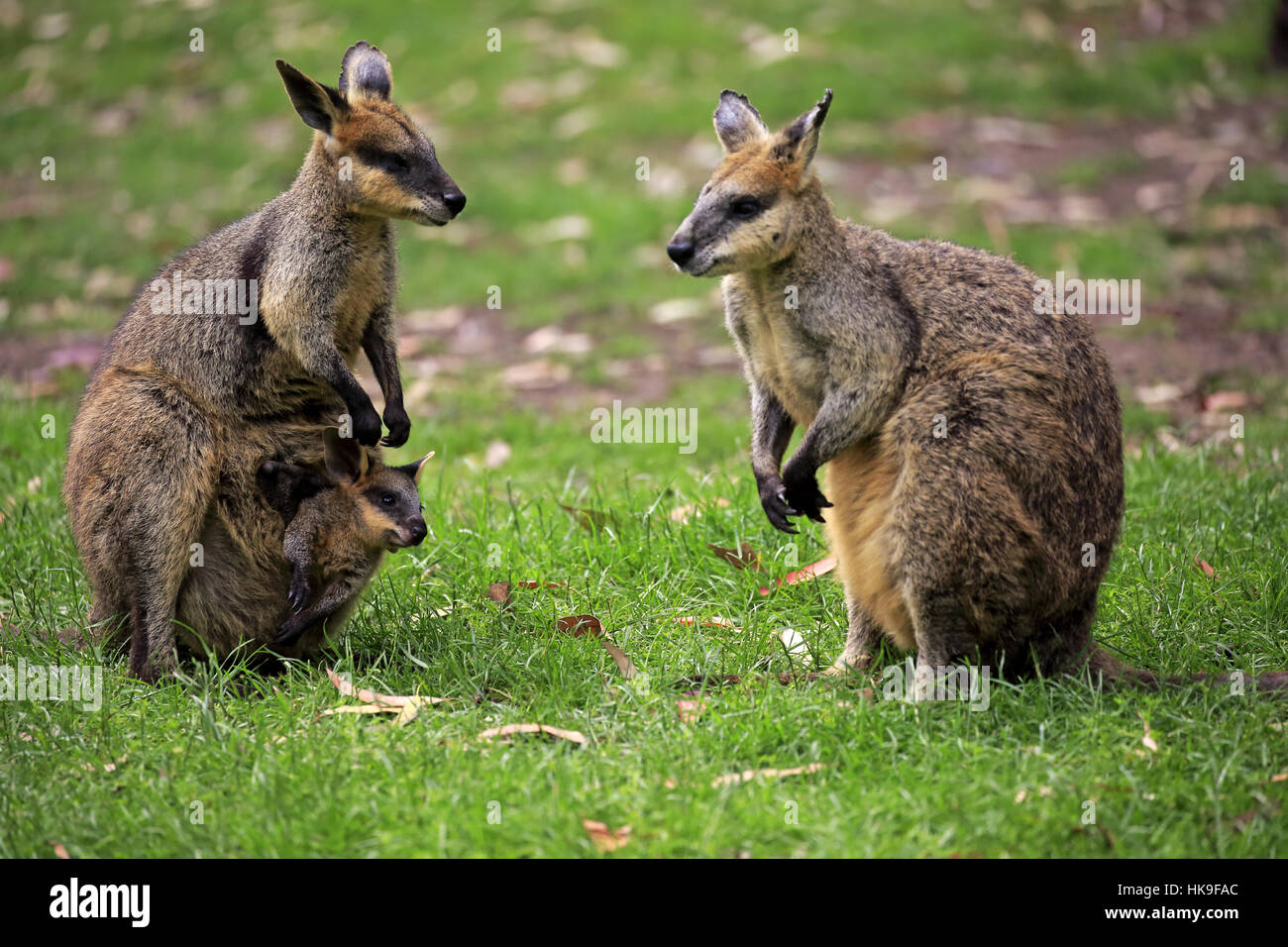 Wallaby Pouch Agile Wallaby, (Macrop...