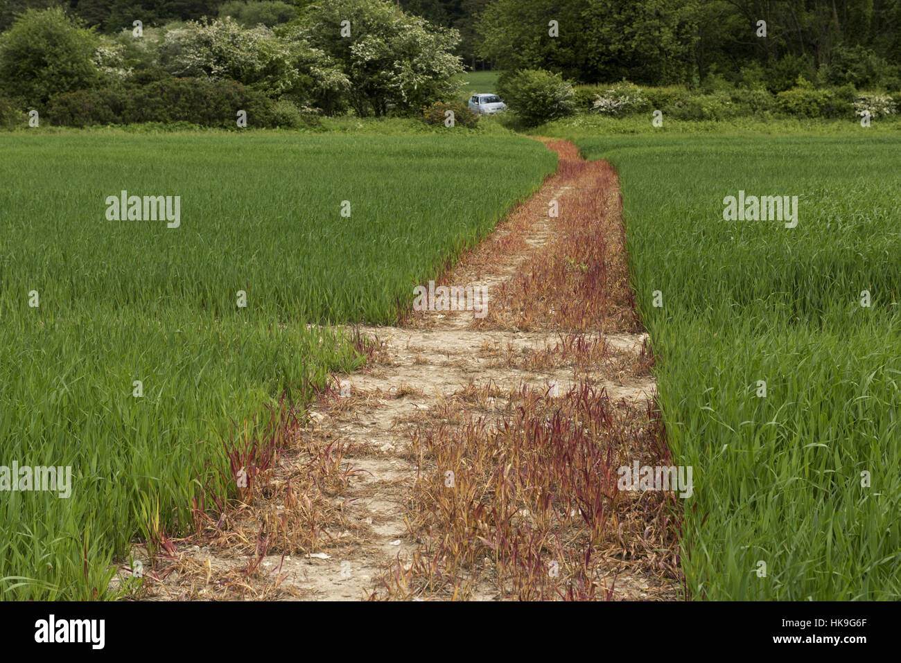 A footpath sprayed off with glyphosate and cut through a crop of young oats, June, Berkshire - Stock Image