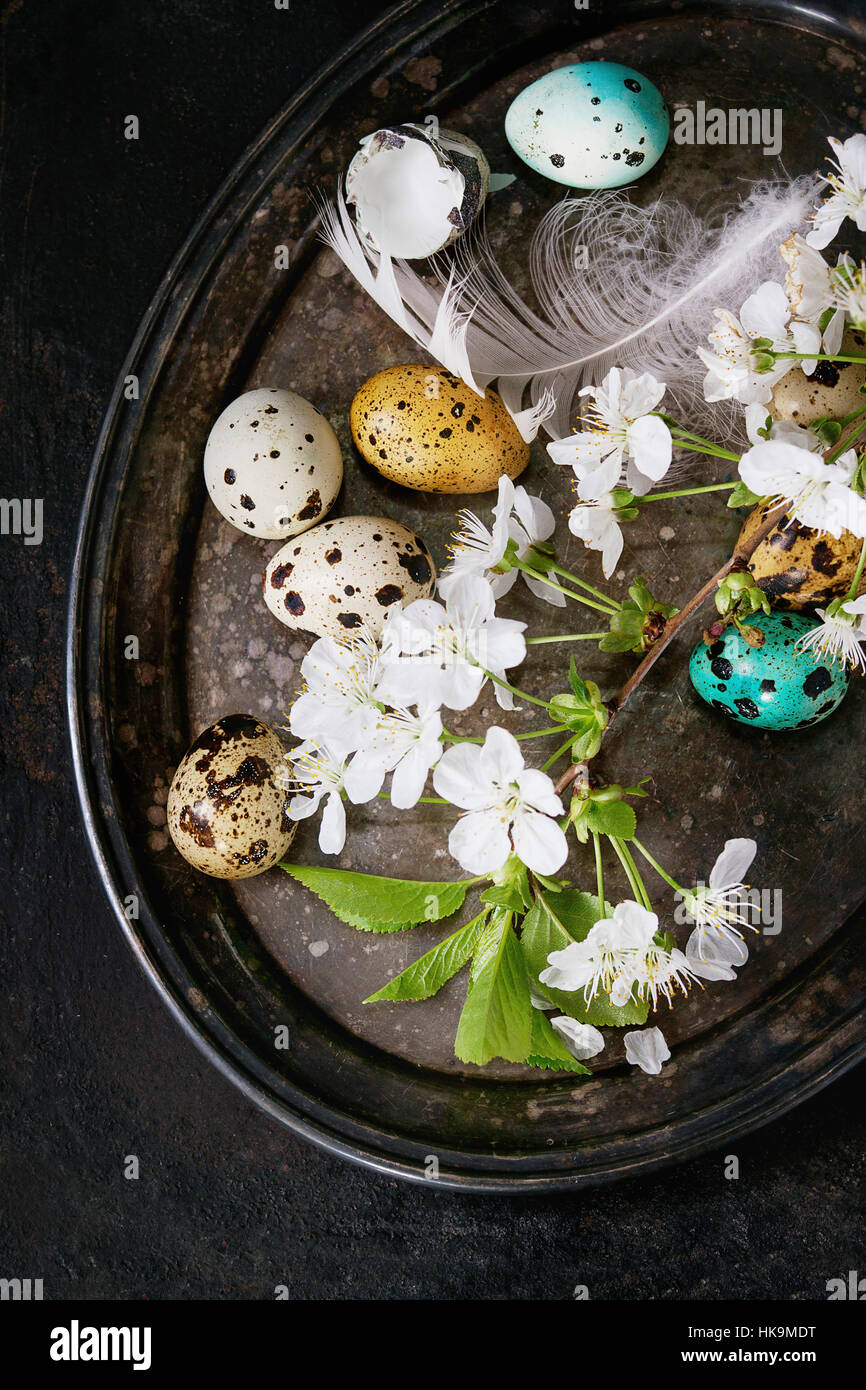 Decor colorful Easter quail eggs with spring cherry flowers, moss and bird feather on vintage metal tray over black - Stock Image