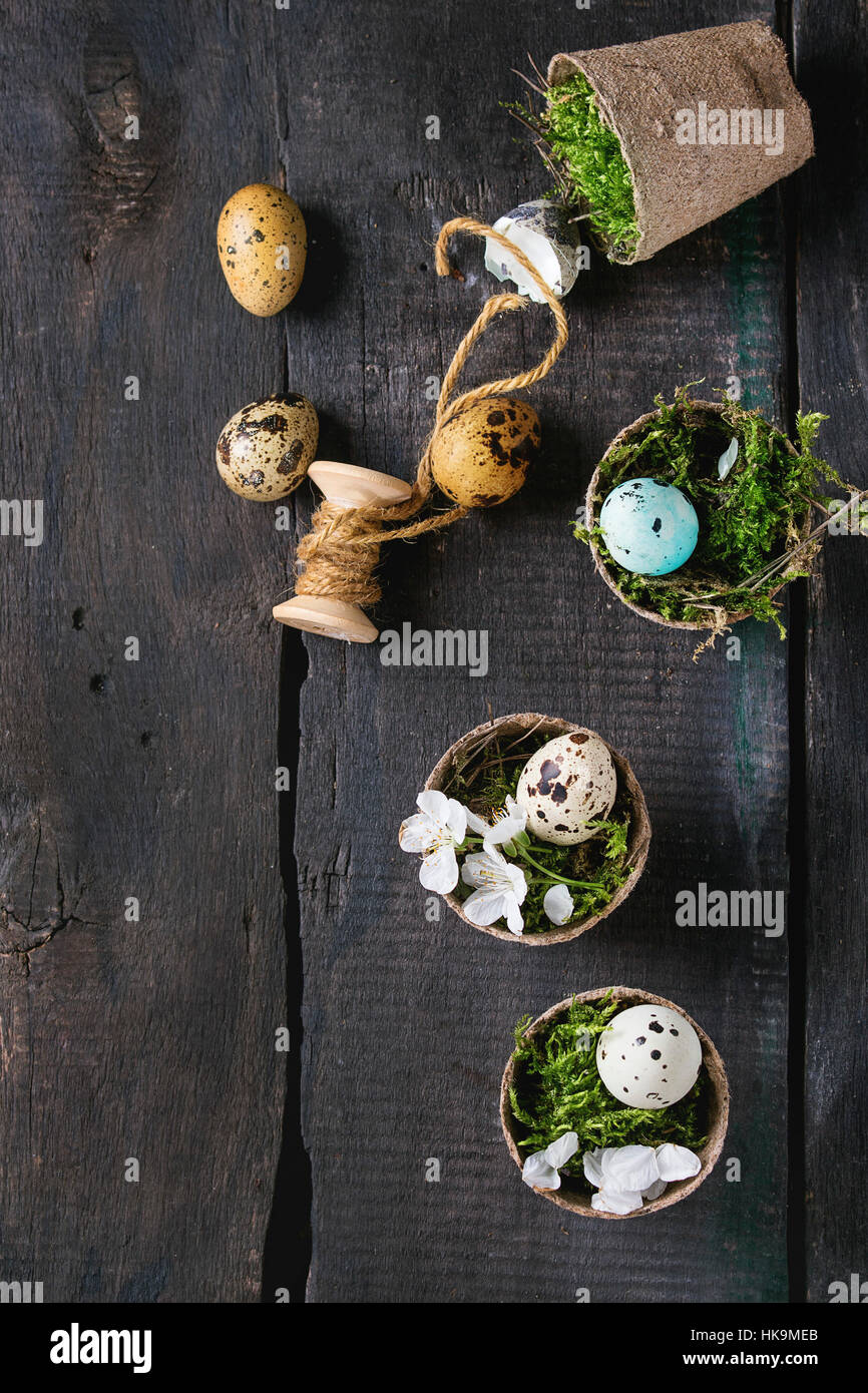 Decor colorful Easter quail eggs with spring cherry flowers, moss, spool of thread in small garden pots over old - Stock Image