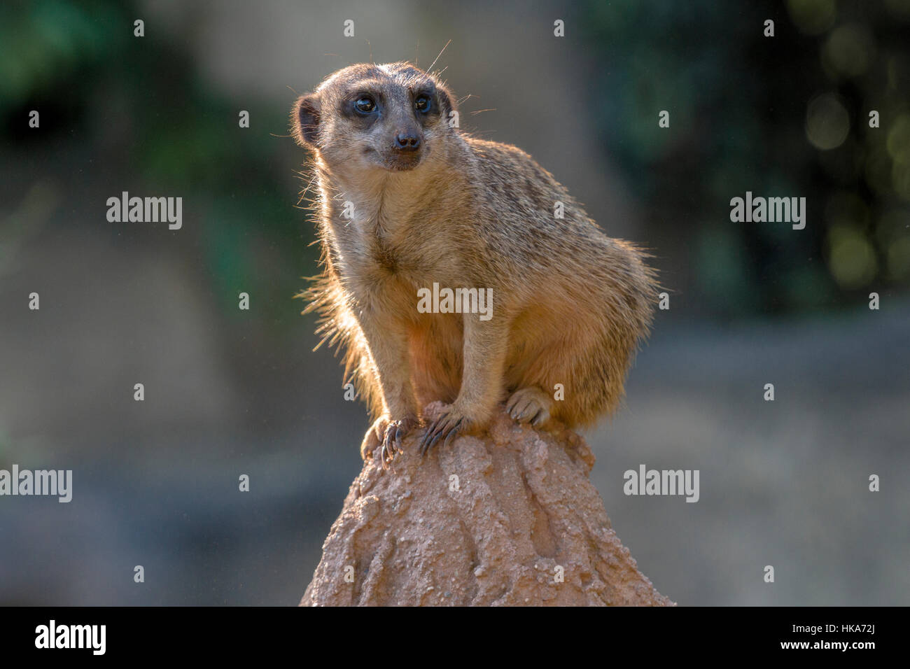 A Meerkat (Suricata suricatta) is sitting on a rock, watching out - Stock Image