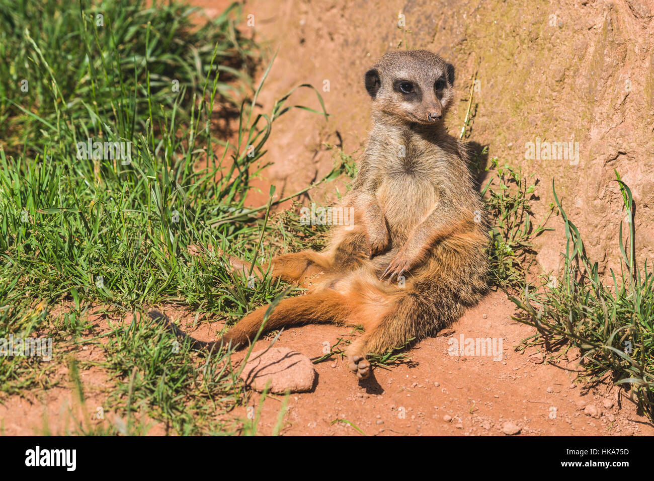 A Meerkat (Suricata suricatta) is sitting on the ground, watching out - Stock Image