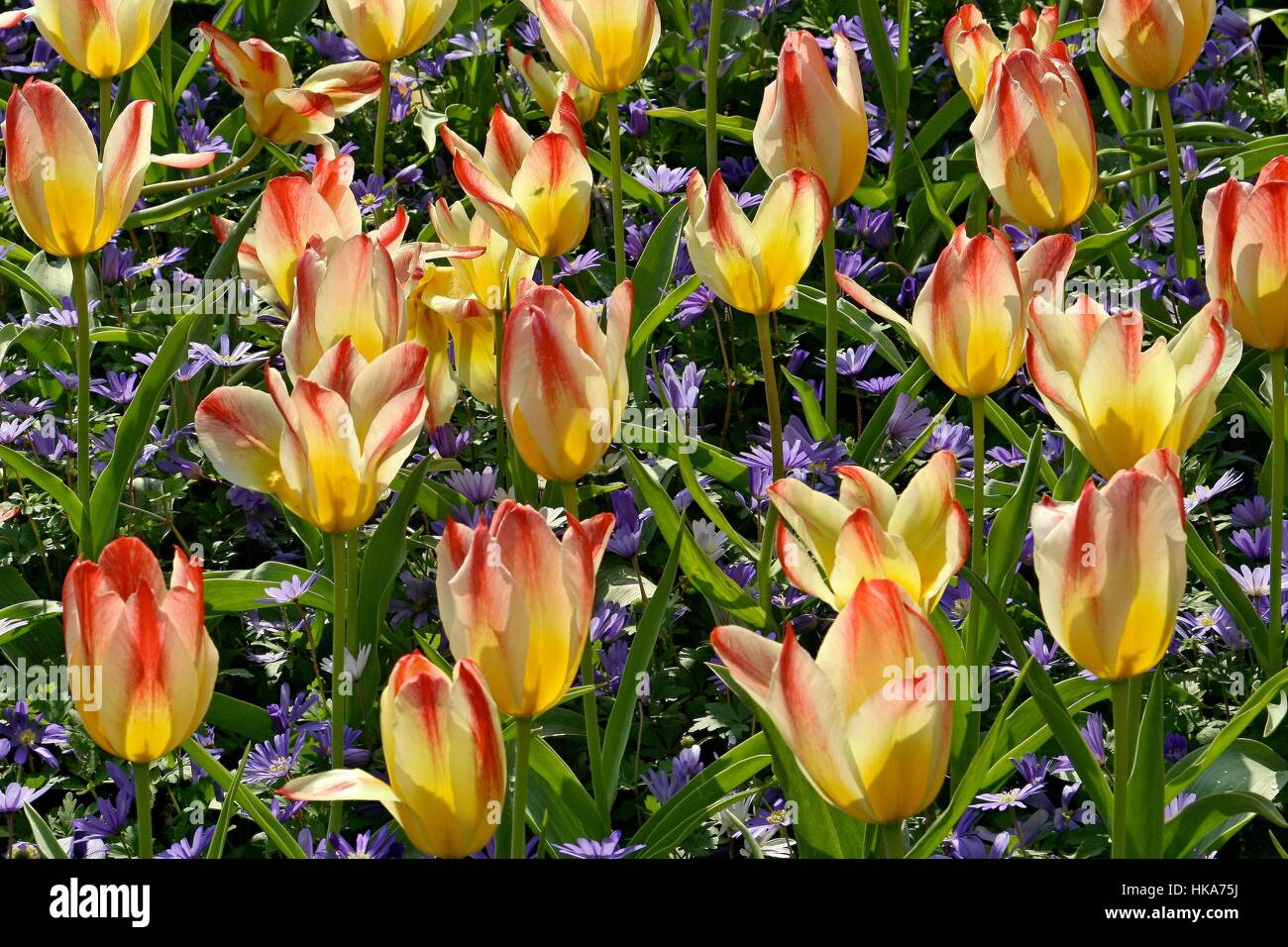 Addis - Greigii Tulip, Apricot edged sulphur - light yellow, Park Keukenhof, Holland - Stock Image