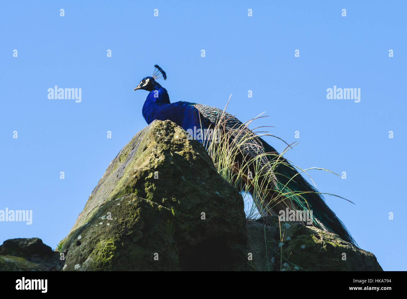 A Indian Peacock (Pavo cristatus) is standing on a rock - Stock Image