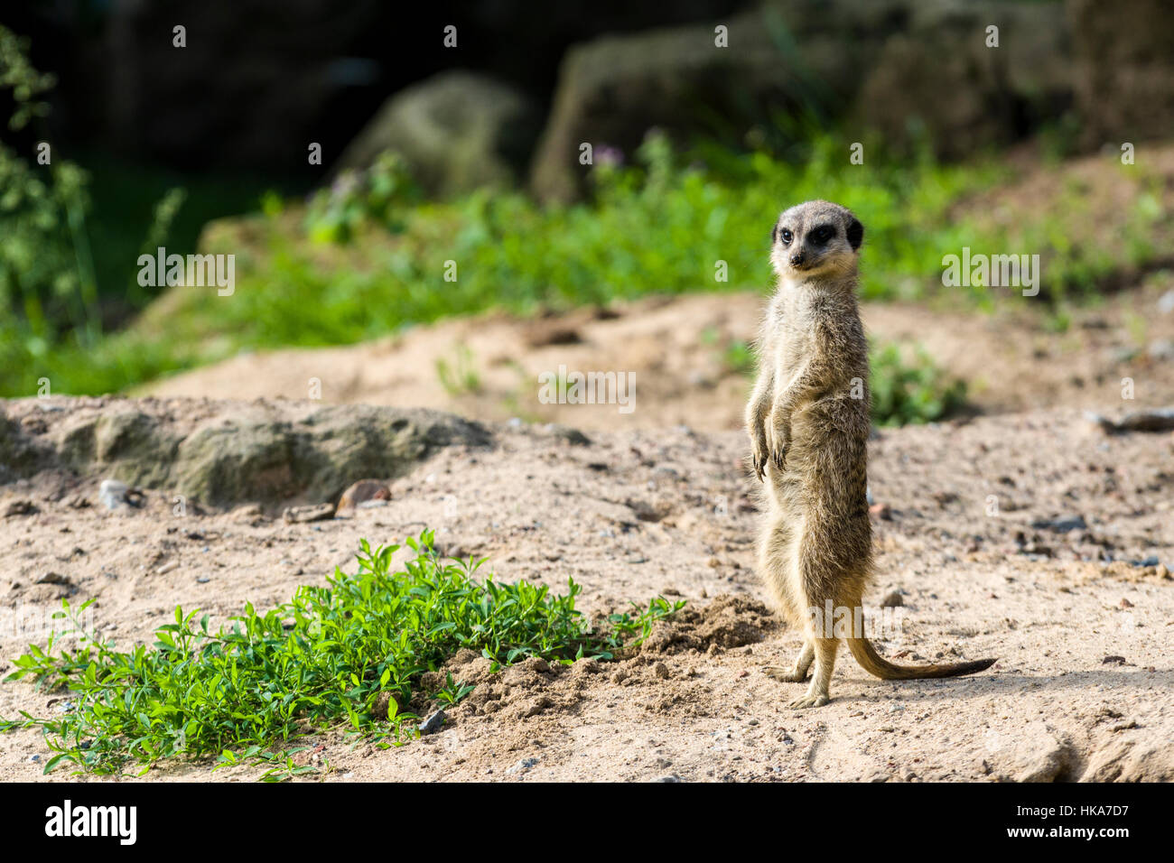 A Meerkat (Suricata suricatta) is standing on the ground, watching out - Stock Image