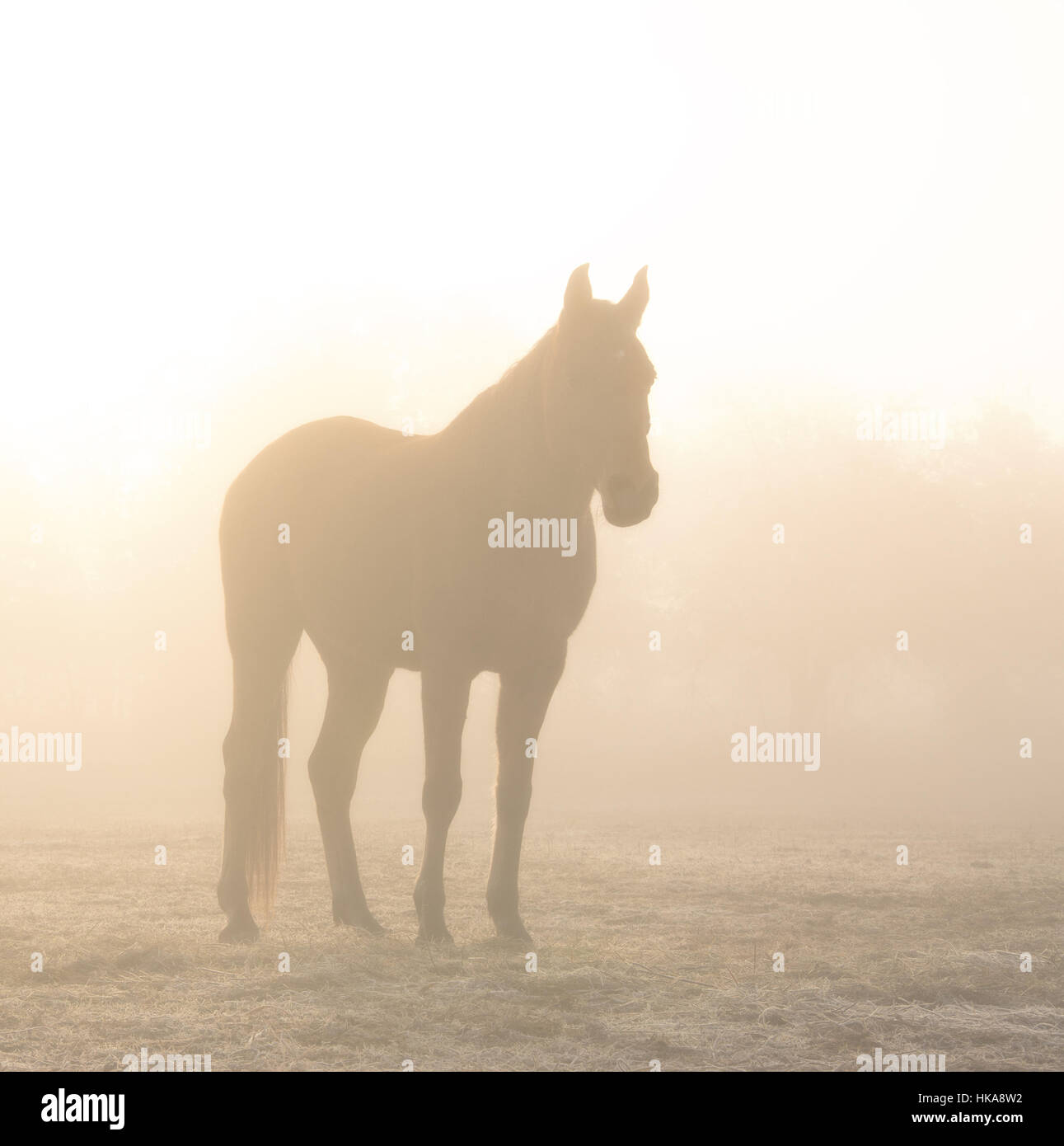 Horse silhouetted against sunrise through heavy fog, in sepia tones - Stock Image