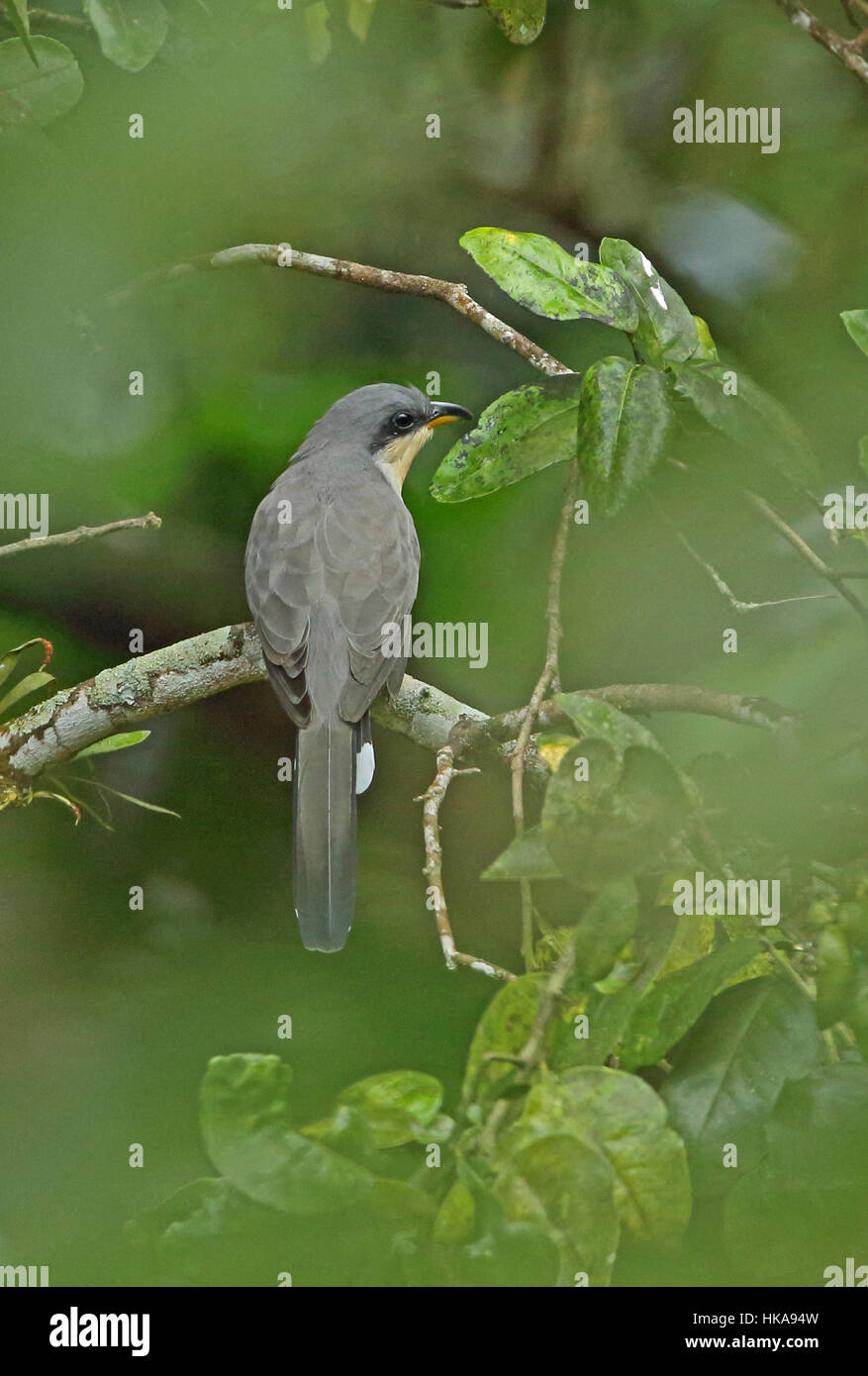 Mangrove Cuckoo (Coccyzus minor) adult perched on branch  Fond Doux Plantation, St Lucia, Lesser Antilles      November - Stock Image