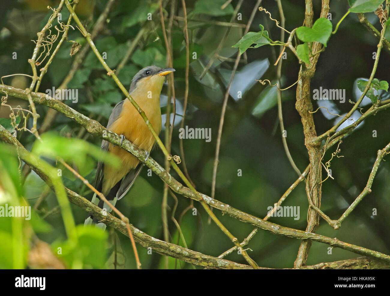 Mangrove Cuckoo (Coccyzus minor) adult perched on vine  Fond Doux Plantation, St Lucia, Lesser Antilles      November - Stock Image