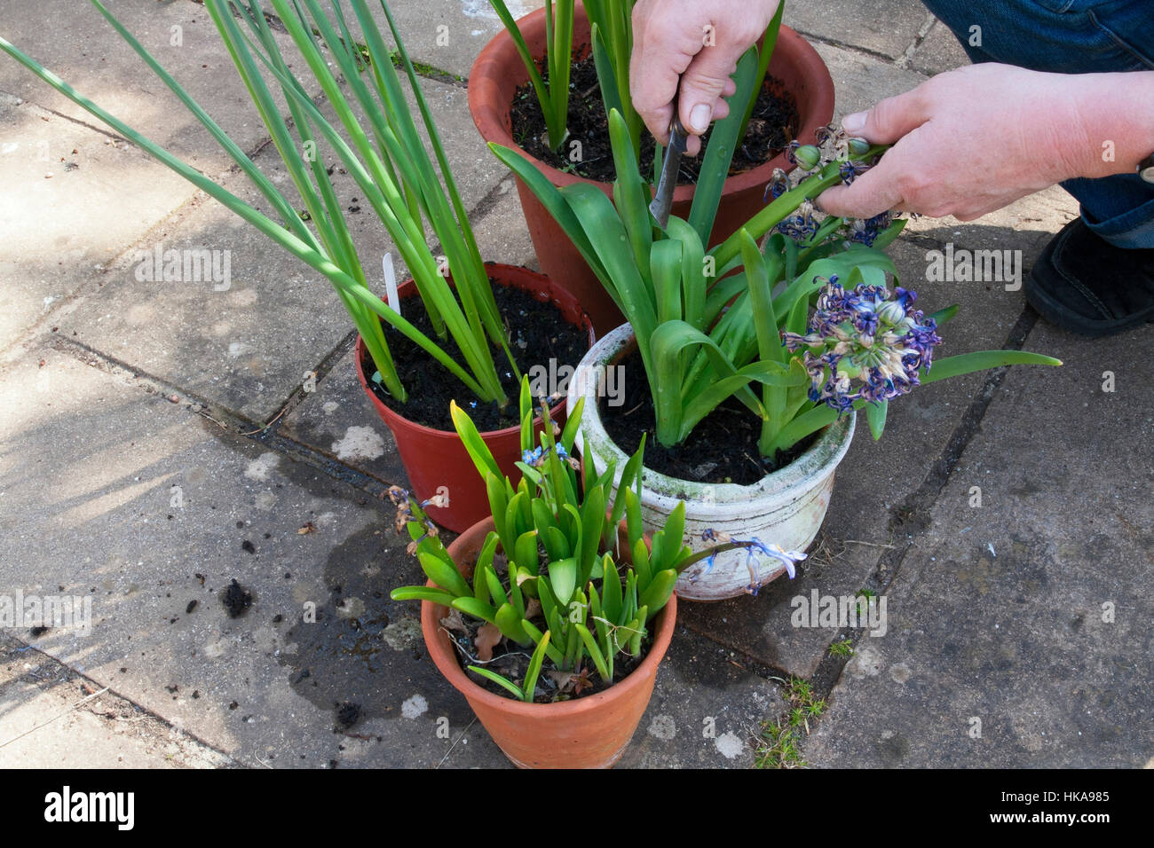 Dead-heading spring flowering bulbs - Stock Image
