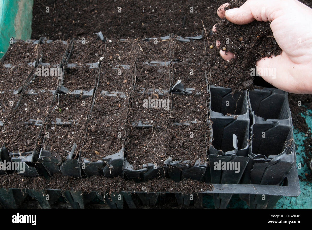 Sowing Sweet Pea - Filling Root Trainer modules with compost - Stock Image