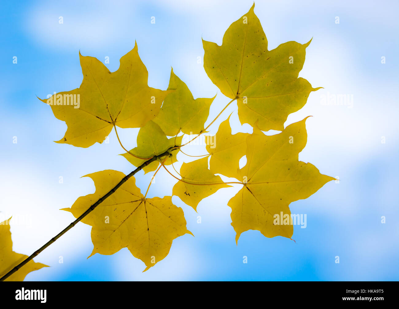 Closeup of a twig with yellow maple leaves - Stock Image