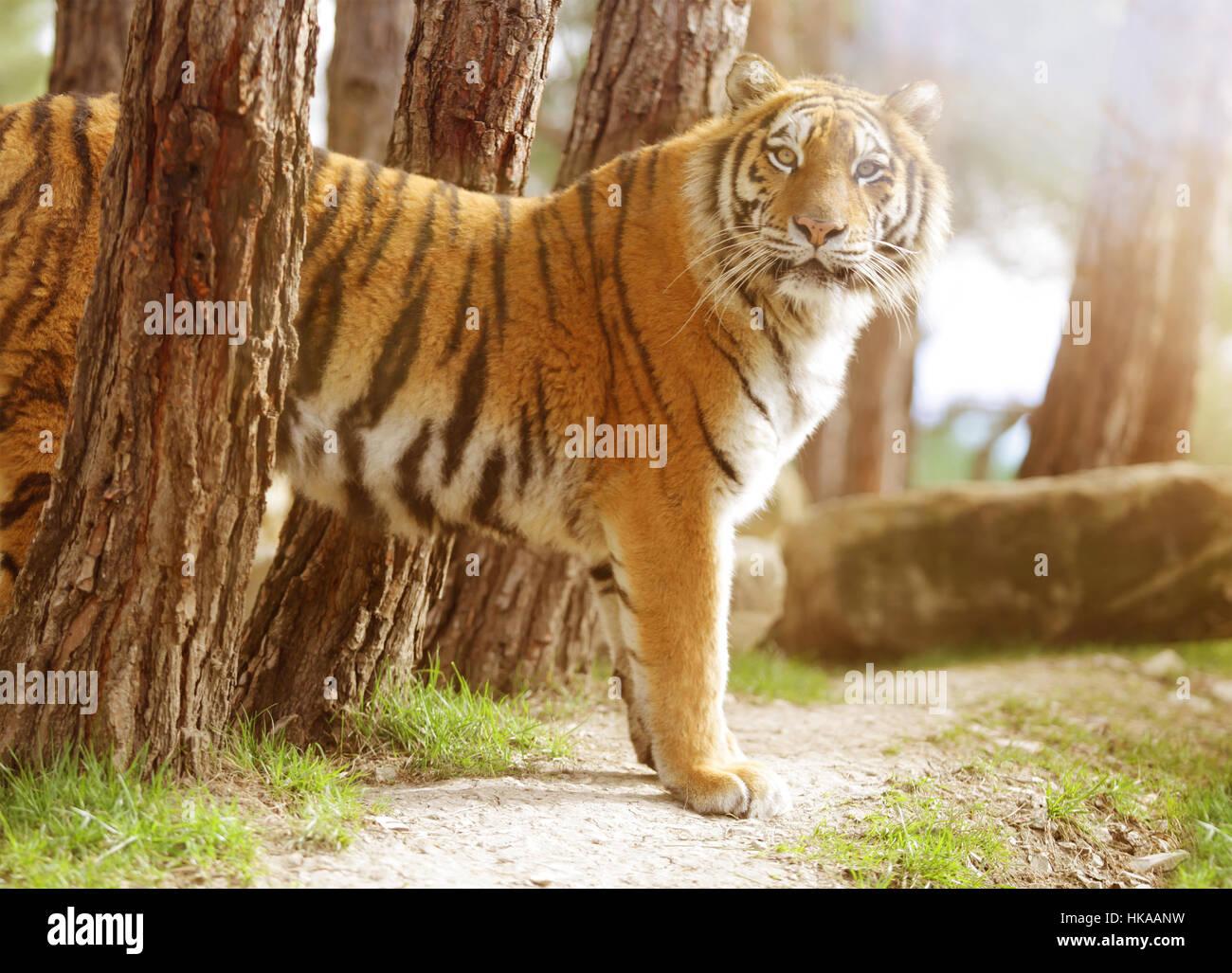 Tiger Jumping At Camera