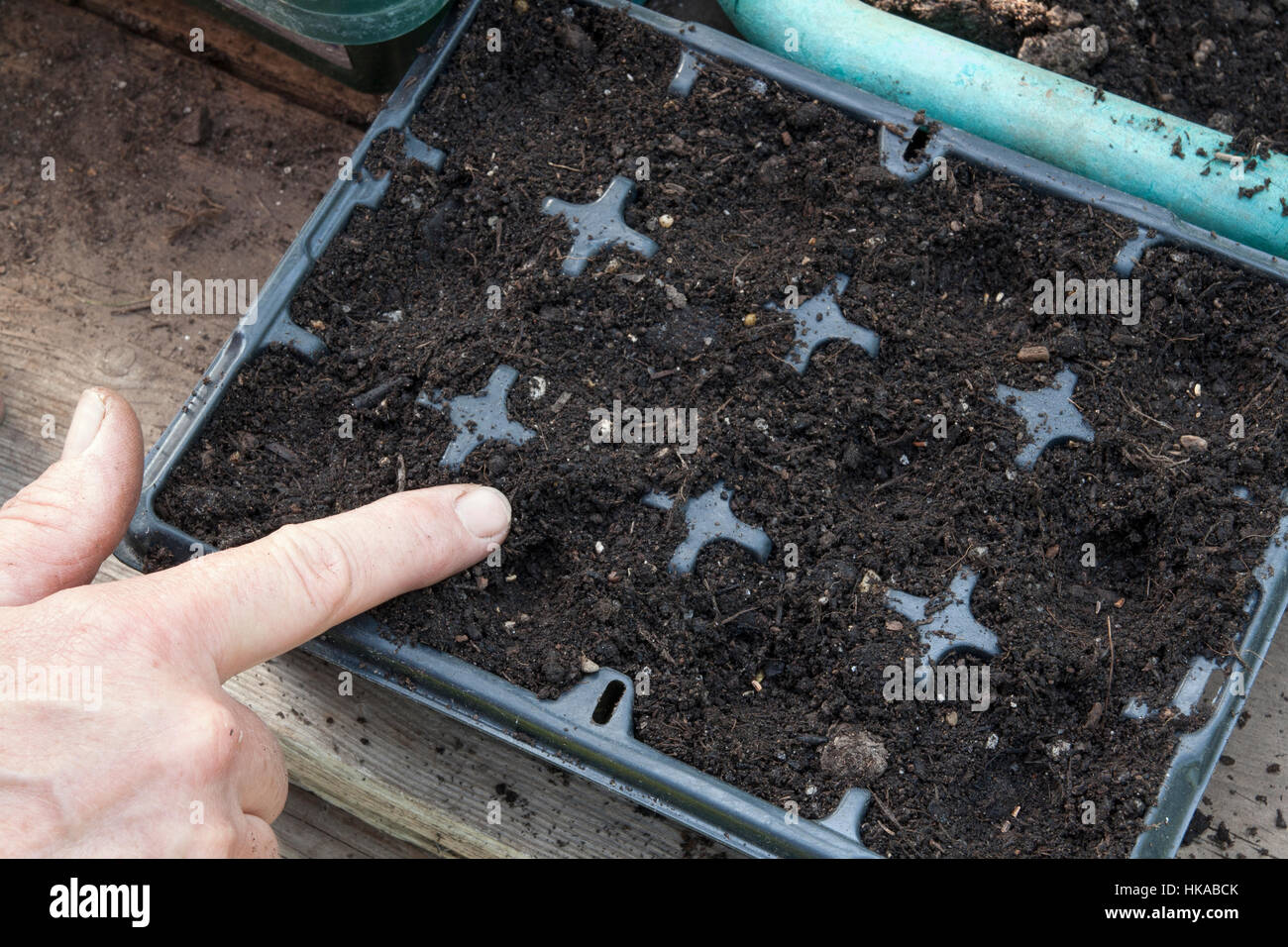 Sowing radicchio into modules step-by-step. Step # 3 Covering seeds - Stock Image